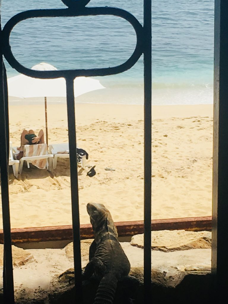 Iguana checking out the surf at the Cabo Surf Hotel